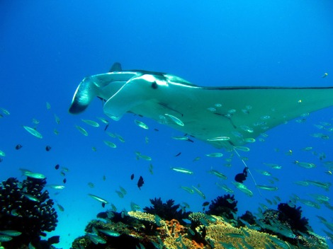 Manta Ray, Lady Elliot Island.